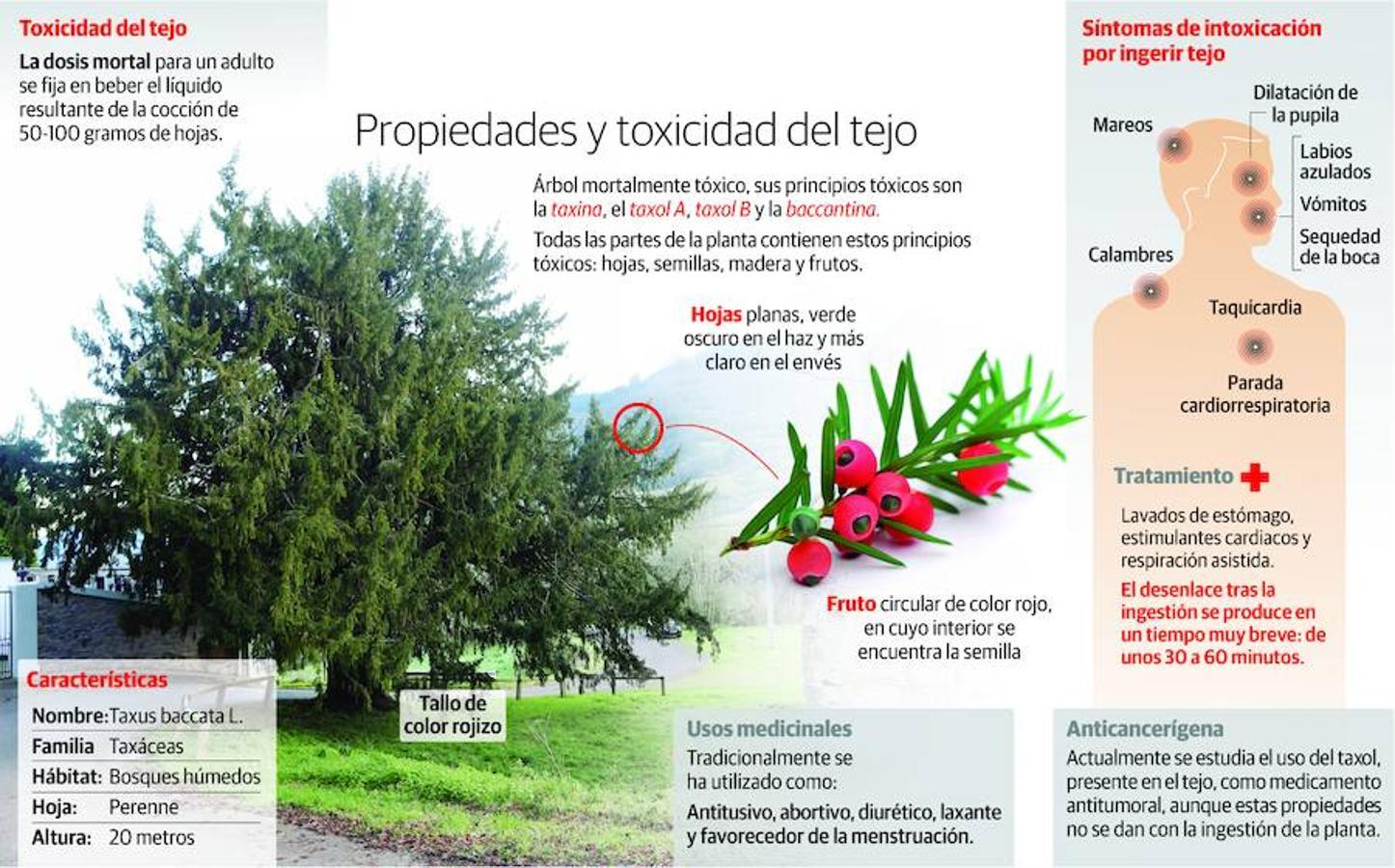 El tejo es un árbol altamente tóxico. Todas sus partes (hojas, semillas, madera y frutos) contienen elementos tóxicos.