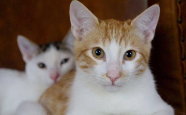 Por qué se dice que los gatos tienen 7 vidas? | El Comercio