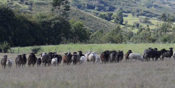 La oveya xalda, estrella gourmet | El Comercio